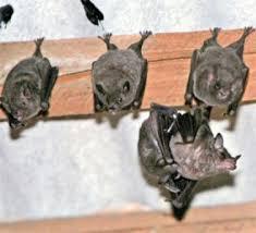 expurgo de morcegos porto alegre