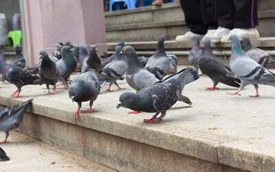 expurgo pombos porto alegre